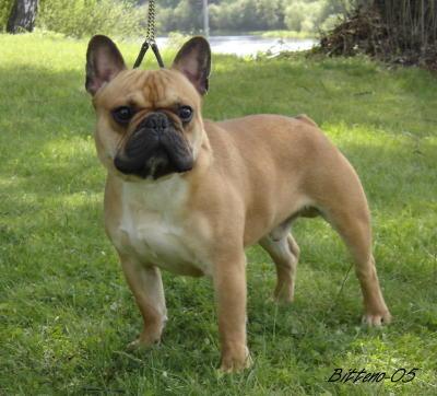 fransk bulldog voksen